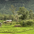 Rice Fields - Laos — Stock Photo