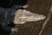 Crocodille - Tonle Sap, Cambodia — Stock Photo