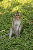 Monkey - Wat Phnom, Phnom Penh, Cambodia — Photo