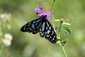 Butterfly - Maasai Mara Reserve - Kenya — Stock Photo