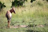 Topi - Maasai Mara Reserve - Kenya — Stock Photo