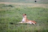 Lion - Maasai Mara Reserve - Kenya — Stock Photo