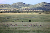 Thompsons Gazelle - Maasai Mara Reserve - Kenya — Stock Photo