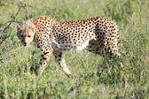 Cheetah - Maasai Mara Reserve - Kenya — Stock Photo