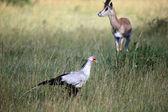 Secretary Bird - Maasai Mara Reserve - Kenya — Stock Photo