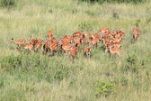 Impala - Maasai Mara Reserve - Kenya — Stock Photo
