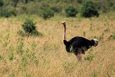 Ostrich - Kenya — Stock Photo