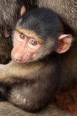 Baby Baboon - Kenya — Stock Photo