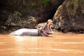 Hipopotam w marabut rzeka - kenia — Zdjęcie stockowe