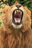 Male Lion - Kenya — Stock Photo