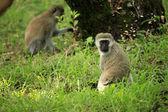 Vervet Monkey - Kenya — Stock Photo