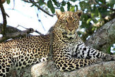 Leopard in Tree - Kenya — Stock Photo