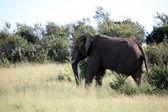Elephant - Maasai Mara Reserve - Kenya — Stock Photo