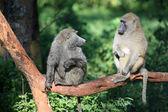 Baboon - Kenya — Stock Photo