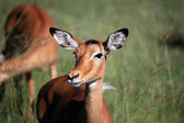 Impala - Kenya — Stock Photo