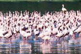 粉红色的火烈鸟-湖 nukuru 自然保护区-肯尼亚 — 图库照片