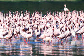 Pink Flamingoes - Lake Nukuru Nature Reserve - Kenya — Stok fotoğraf