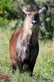 Bush Buck - Kenya — Stock Photo