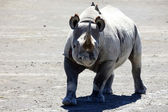 Rhino Ready To Charge in Kenya — Stock Photo