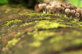 Wild Mushroom Fungus in Malaysia — Stock Photo