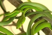 Green Tree Snake — Stock Photo