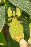 Leaf Insect — Stock Photo