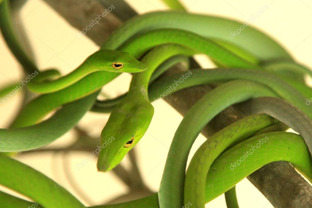 Tropical Green Tree Snake in Malaysia  Stock Photo #11435488