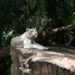 Tiger - Singapore Zoo, Singapore — Stock Photo
