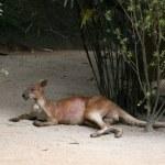 Kangaroo - Singapore Zoo, Singapore — Stock Photo #11568632