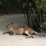 Kangaroo - Singapore Zoo, Singapore — Stock Photo