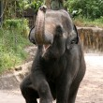 Elephant Show - Singapore Zoo, Singapore — Stock Photo #11568647