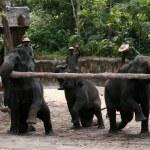 Elephant Show - Singapore Zoo, Singapore — Stock Photo #11568672