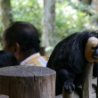 Monkey - Singapore Zoo, Singapore — Stock Photo