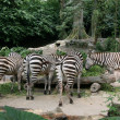 Zebra - Singapore Zoo, Singapore — Stock Photo