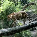 Leopard in Natural Habitat — Stock Photo