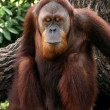 Stock Photo: Orang Ut- Singapore Zoo, Singapore