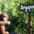 Stock Photo: Orang Utwith Singapore Zoo Sign