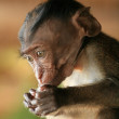 Long Tailed Macaque Baby — Stock Photo