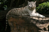 Tiger - Singapore Zoo, Singapore — Stock Photo