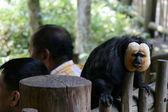 Macaco - jardim zoológico de Singapura, Singapura — Fotografia Stock