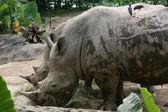 Rhino - Singapore Zoo, Singapore — Stock Photo