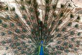 Peacock - Singapore Zoo, Singapore — Stock Photo