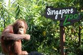 Orangután con signo del zoológico de singapur — Foto de Stock