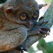 Bush Baby - Tarsier, Philippines — Stock Photo
