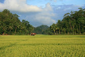 Picturesque Rice Field, Philippines — Stock Photo