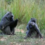 Olive Baboon, Uganda, Africa — Stock Photo