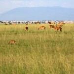 Impala Antelope, Uganda, Africa — Stock Photo