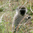 Vervet Monkey - Tarangire National Park. Tanzania, Africa — Stock Photo