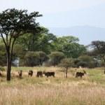 Impala - Tarangire National Park. Tanzania, Africa — Stock Photo