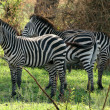 Zebra - Tarangire National Park. Tanzania, Africa — Stock Photo #11655468